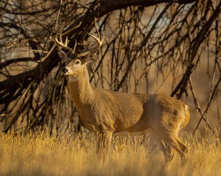 Whitetail Deer Buck in woods