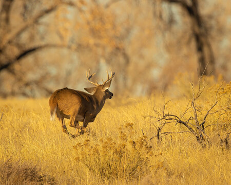 Whitetail Deer Buck running