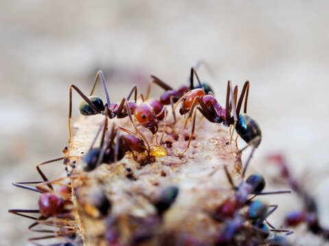 Close-up Of Ants On Food.