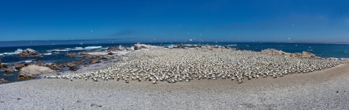 Lambert's Bay Bird Island lies about 100 m off the shore of Lambert's Bay on the Cape's West Coast, South Africa. The island is populated with 20 000 gannets.