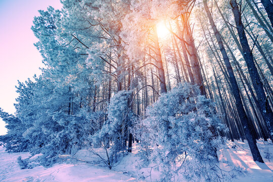 Winter forest on a sunny day. Tall pine trees covered with snow