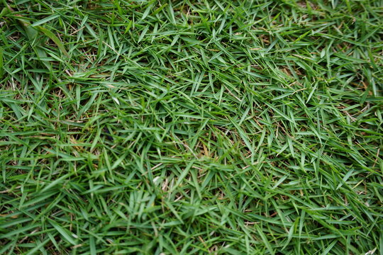 Korean Lawn Grass (Zoysia Japonica), green grass background