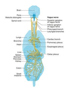Vagus nerve labeled and human organs, medically Illustration