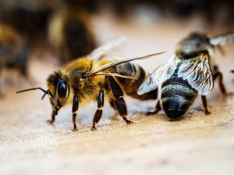 Close-up Of Bees.