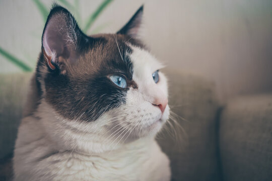 profile of cat with blue eyes
