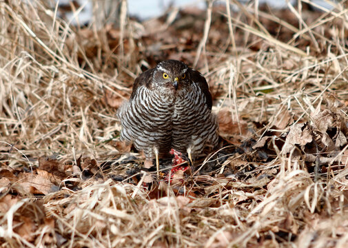 Sparrowhawk (latin name Accipiter Nisus) Sitting on the Grass After Hunting a Small Bird. Winter Hunt of a Young Female Sparrowhawk. Brown Brindle Bird with Yellow Eye Watching the Surroundings.