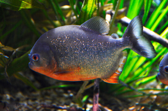 The red-bellied piranha, Pygocentrus altus, is a dangerous fish in water with green aquatic vegetation. Swimming predatory animal in the aquarium.