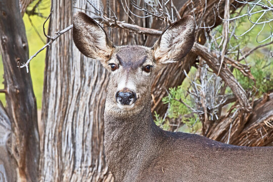 A female mule deer (Odocoileus hemionus) stares back at he photographer from underneath a Juniper tree.