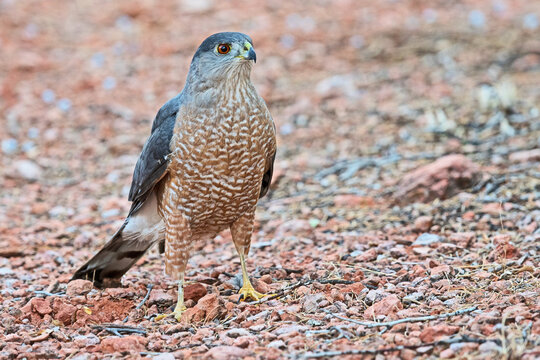 A Coopers Hawk stands on the ground in Sedona, Arizona. This is a medium-sized raptor closely related to sharp-shinned hawks and northern goshawks.
