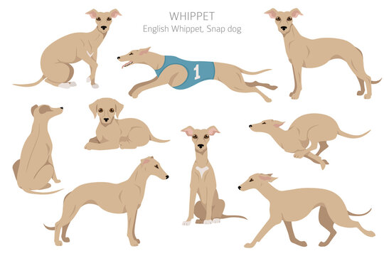 Whippet clipart. Different poses, coat colors set.