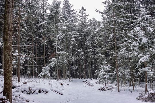 Verschneiter Wald, Wöllersdorf, Niederösterreich, Föhrenwald
