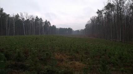 Obraz Młody las we mgle - fototapety do salonu