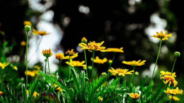 Yellow Arnica flowers. Arnica montana L. Mountain-tobacco, Golden-fleece, Leopardsbane. Decorative Hedge Fence flowers. Desktop Background