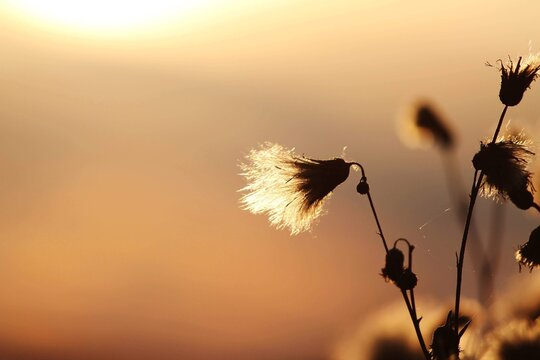 Close-up Of Silhouette Dandelion Against Sky During Sunset