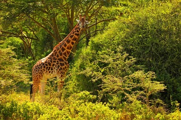 Fototapeta giraffe in the wild