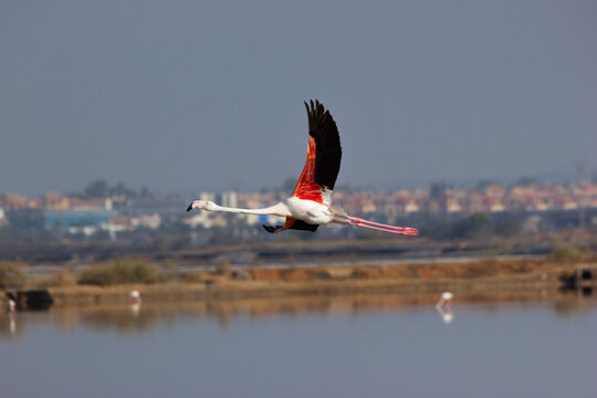 Flamenco volando desde laguna con las alas desplegadas.