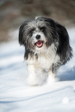 Running mixed breed in snow landscape
