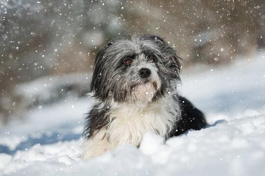 Cross breed dog lying in snow landscape