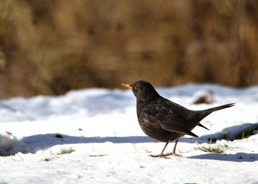 A Blackbird on a snowy ground