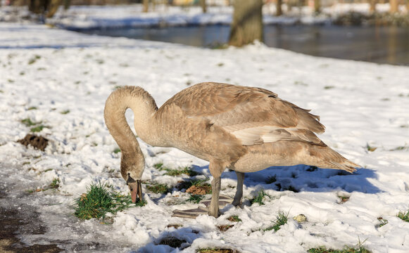 swan standing on snow eating grass in Hoogvliet, The Netherlands
