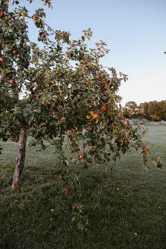 Apfelbaum trägt viel Früchte im Sommer