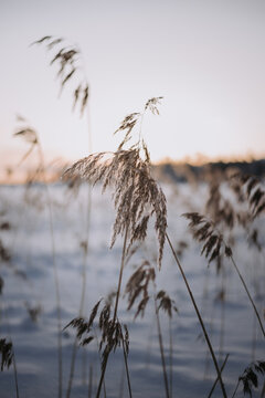Frozen winter lake with reed