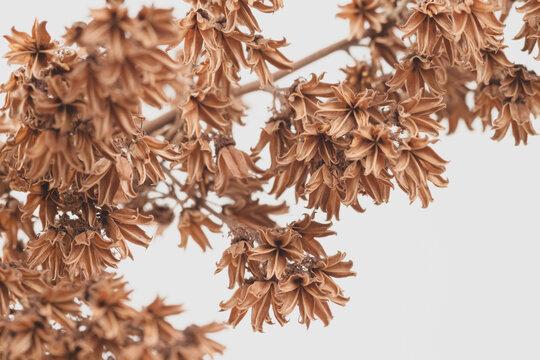 Little brown bell shape romantic flowers dry  branch on light background macro