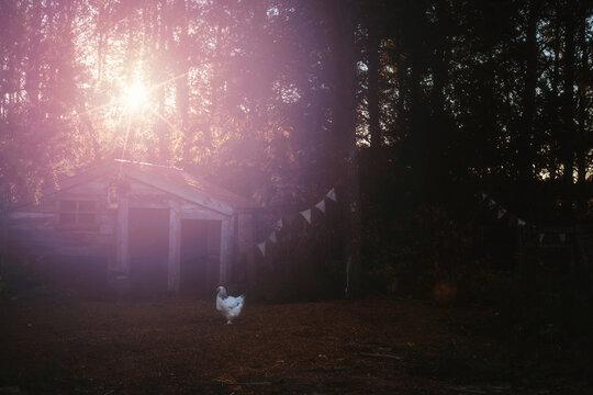 Hen standing on field by chicken hoop in backyard