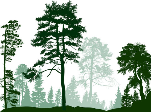 pine trees green group in forest on white