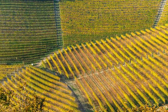 Vineyard rows with colorful autumn foliage in Barolo wine region, Langhe, Piedmont, Italy