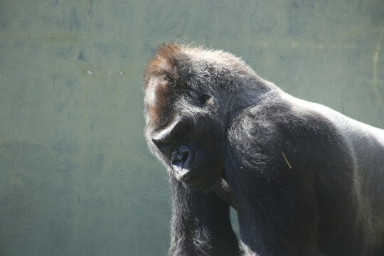 Silverback gorilla looking moody and angry