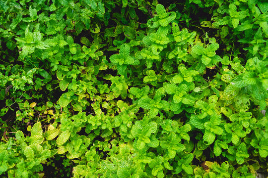 Top down view of mint in outdoor vegetable patch herb garden home