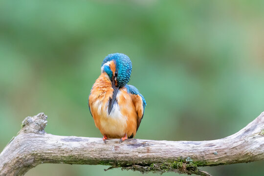 Eurasian kingfisher (Alcedo atthis) cleaning his feathers on his perch in autumn.