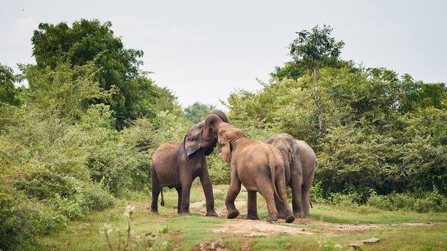 Three elephant in the wild against green landscape. Wildlife animals in Sri Lanka.