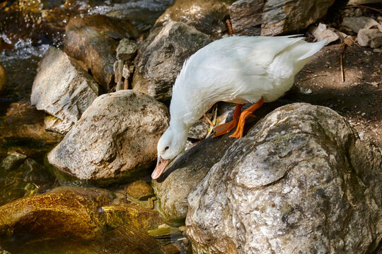 Cautious duck does not dare to go into the water.
