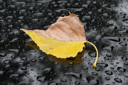 Verwelktes Herbstblatt - Pappel
