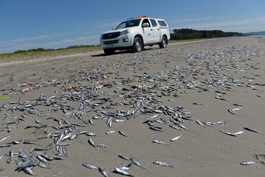 Dead fish washed up on shore is seen in Playa Arauco