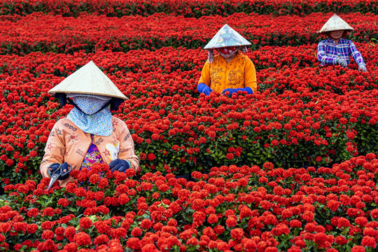 Group of Vietnamese farmers working with red flowers garden in sadec, dong thap province, vietnam,traditional and culture concept