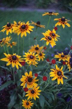 BLACK EYED SUSAN FLOWERS, SEVERAL