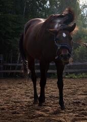 koń gniady - fototapety na wymiar