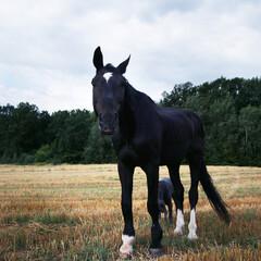 koń, ściernisko, hipoterapia - fototapety na wymiar