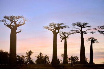 MORONDAVA-MADAGASCAR-OCTOBER-7-2017: Tourism peoples with a Beautiful Baobab trees at sunset at the avenue of the baobabs in Morondava ,Madagascar