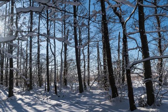Snowy Alder tree forest