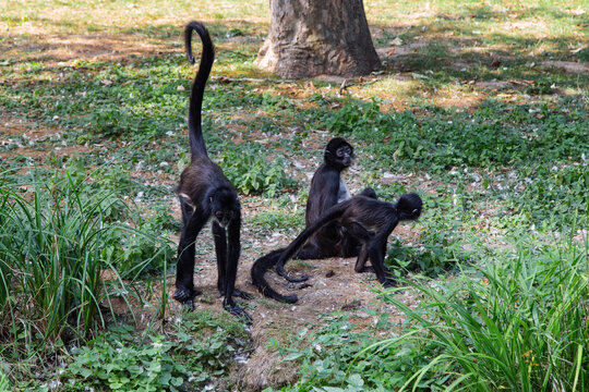 Family of Geoffroy's Spider monkeys. Black monkeys with long tails on the ground. Ateles geoffroyi.