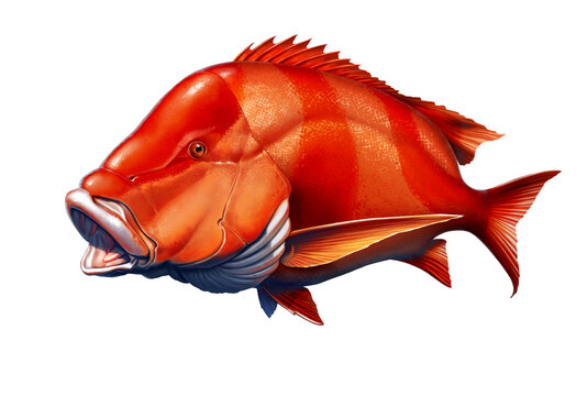 Red emperor snapper fish realistic illustration isolated.