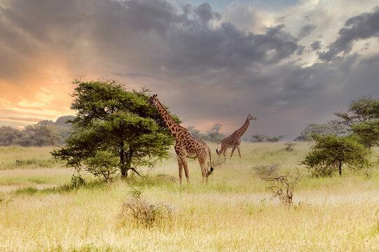 giraffe in the savannah