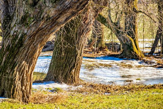 Baumwuchs an der Siegmündung im vereisten Naturschutzgebiet