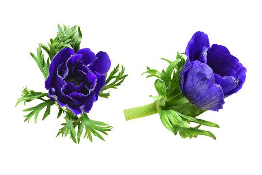 Set of blue anemone flowers
