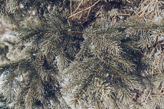 close up view of frozen fir tree branches