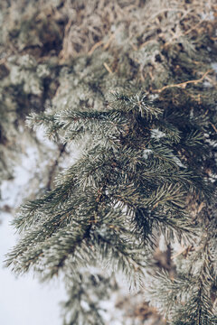 covered with frost  fir tree branches